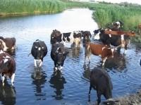 Ukraina.Wolowina,zywiec.Byki miesne 4 zl,cieleta mleczne 9 zl/kg.
