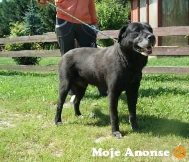 Czarny pies w typie labradora szuka domu