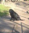 Uroczy psiak w typie labradora czeka na dom