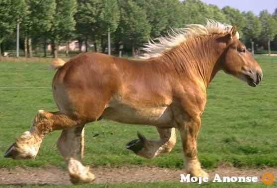 Ukraina. Ciezkie konie wlodzimierskie o duzej masie ciala 3 zl/kg
