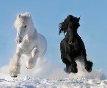 Ukraina.Konie,zwierzeta hodowlane,ogiery,klacze,siwe rysaki 900zl