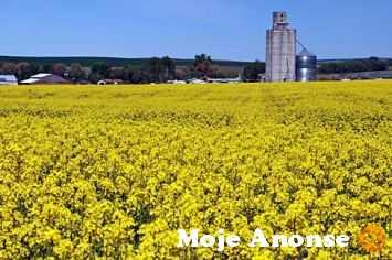 Ukraina. Ziarna rzepaku 1300 zl/tona, wysokobialkowa sruta,makuch