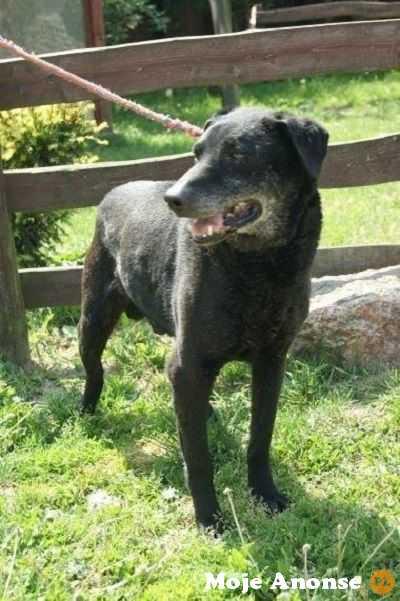 Grzeczny i kontaktowy psiak w typie laba do adopcji