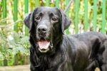 Gryzli - 100% labradora w labradorze - adopcja