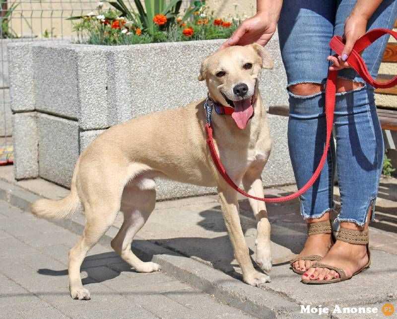 Figo - łagodny, ufny pies w typie laba do adopcji