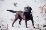 Gryzek - cudowny labrador mix szuka domu