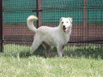 Biszkoptowy piesek w typie labradora do adopcji
