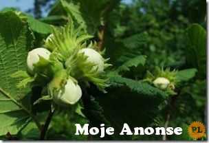Ukraina.Orzechy wloskie,laskowe 3 zl/kg w skupie sezonowym.Pestki