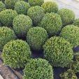 Bukszpan kula wiecznie zielony sadzonka 40 - 50 cm  w pojemniku