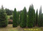 tuja (Thuja) Smaragd wys. 4 - 5 m (wykopywane z gruntu)