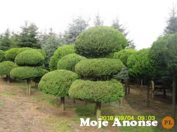 Sprzedam cyprysik groszkowy 'Aurea' PA (duże rośliny z gruntu)