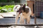 Tajger - piękny, ale wymagający pies czeka na dom